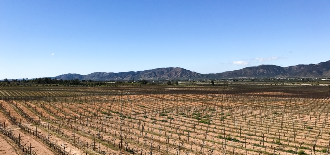 baja-vineyard